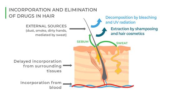 THC hair deposit routes