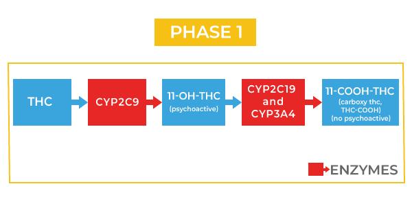 THC phase 1 metabolism
